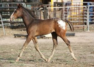 Stunning exceptional bred Appaloosa colt Kojonup Pallinup Area Preview