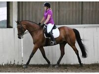 15.2hh Irish Sports Horse for 2day/wk share in Woking