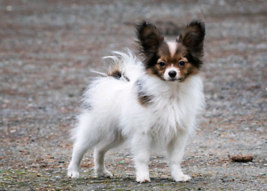 CKC Reg'd Female Papillon Puppy