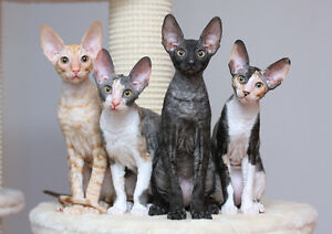 Any Interest in Cornish Rex Cats.