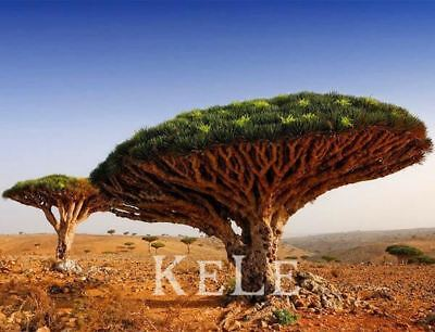 10Pcs A Lot The Dragon Blood Tree Seed With 30Pcs Japanese Pine Tree Seed As Gif