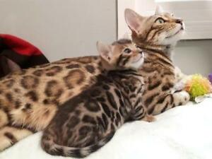 Sweet Bengal Kittens