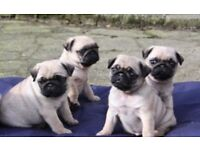 Adorable pugs for sale! Please text for more details! 4 for sale!! Selling fast