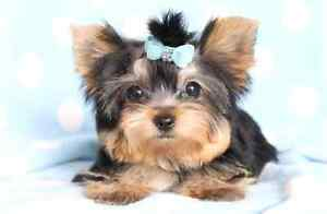 In Search of a Minature Yorkie Puppy.