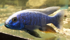 Great variety of African Cichlids plus more