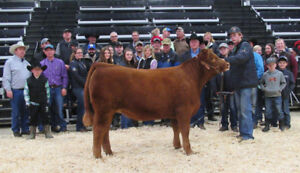 Purebred Gelbvieh replacement heifers at Agribition.
