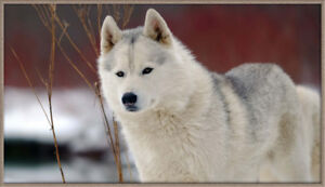 Siberian Husky Puppies. HERE THEY ARE!!!