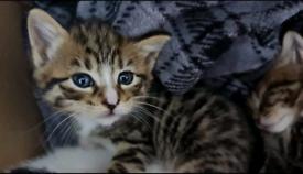 Lovely 3 Blue eyes kittens