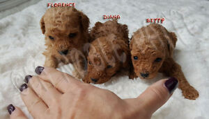 3 TRUE TINY TEACUP POODLE PUPPIES GIRLS AVAILABLE