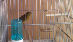 young canaries females