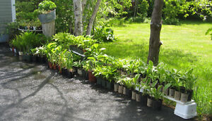Hostas For Sale