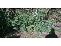 Young blackthorn bushes x6 - FREE