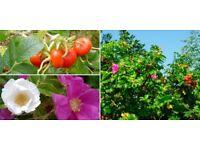 Rosa Rugosa Hedging Plants