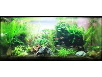 Free Tropical Tetra, Shrimp, Rasbora, Danio Fish to a good home