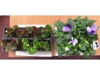 1 TRAY OF 10 BEDDING BEGONIAS AND 1 TRAY OF 6 PANSIES ALL GOOD QUALITY.