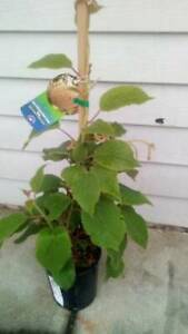 Self Fertile Kiwi plant