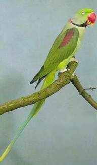 Reward: Alexandrine parrot lost from Harristown