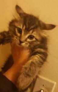 8 weeks kittens 350-380, defleaed with revolution