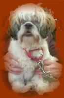 "Young Male Dog - Shih Tzu: ""Ray"""