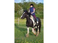 Duchess 14.2hh 3yo piebald cob mare