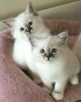The Most Beautiful Cats in the WORLD - Birmans