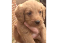 Labradoodle fox red puppies stunning ready now
