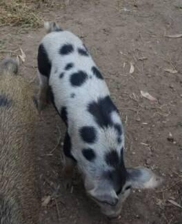 Mini Pig Breeding Boars