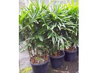 Bamboo palm (raphis)