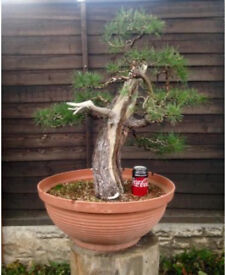 Quality Yamadori Scots pine