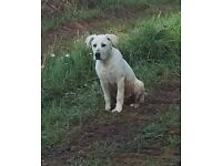 BEAUTIFUL 6 MONTH OLD WELL BEHAVED LAB/SHEPHERD NEEDS FOREVER HOME