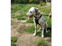 Pedigree Dalmatian 4,5years old lovely home wanted !!!