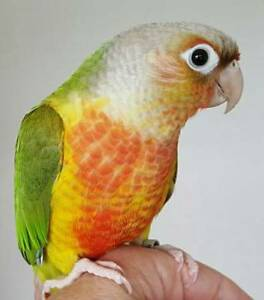 ❤★❤Handfed Conures with Cage❤★❤