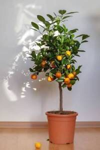 EXOTIC FRUIT TREES FOR SALE  VERY CHEEP CALL 2269343300