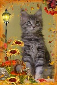 Registered Purebred Maine Coon Female Kitten