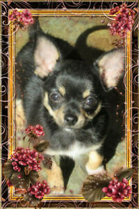 Chihuahua chiot femelle tricolore