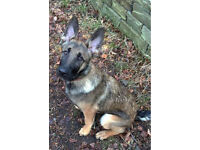 Belgian Malinois, 6 month old Puppy.