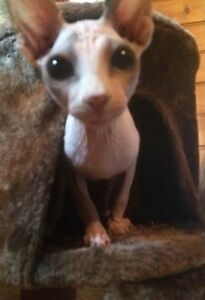 ^ Healthy Sphynx Cat-Rehome