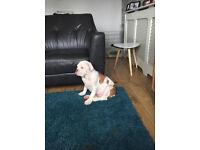Pup bulldog for sale