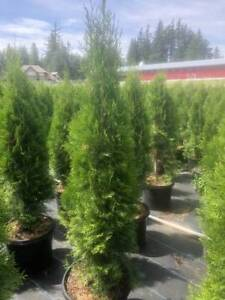 *Container grown EMERALD CEDARS*