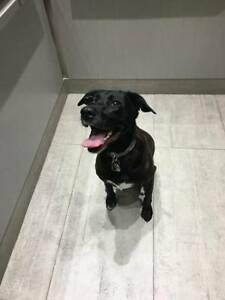 Lost Black Lab - Reward (E. Broadway & Brunswick St)