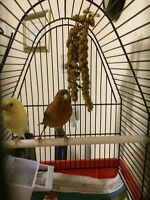 Yellow Singer Male & Red Factor x Female for sale - $150 (Nanaim