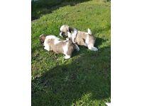 Miniature shih tzu pups