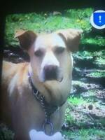 Lost or Stolen Catahoula cross