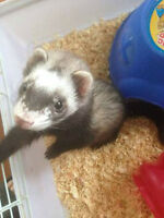 ** Beautiful & playful ** Ferret