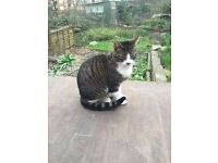 Missing Tabby/White Cat Tierney Road Streatham