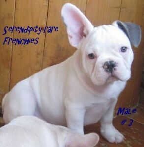 CKC Reg'd BLUE French Bulldog Pups Ready To Go - Only 1 Left