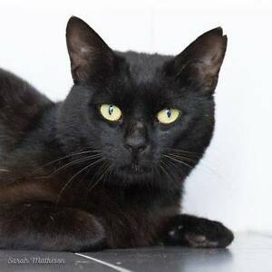 AK1578 : Turtle - CAT FOR ADOPTION - Vet Work Included High Wycombe Kalamunda Area Preview