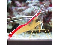 MARINE FISH / LARGE PAINTED CLEANER SHRIMP