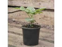 Dwarf Raspberry Ruby Beauty Bushes £4 each (5 available) Grow in pots or in garden, max height 1m