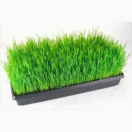 Organic Wheatgrass growing kit